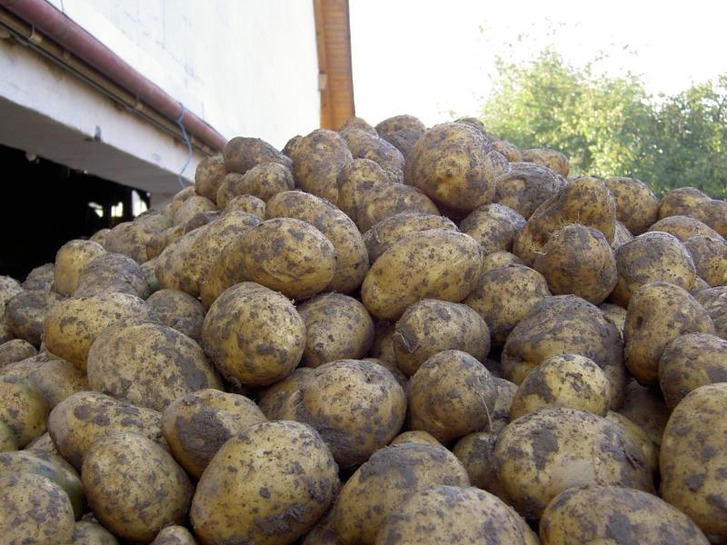 Kartoffeln vom Linzgau